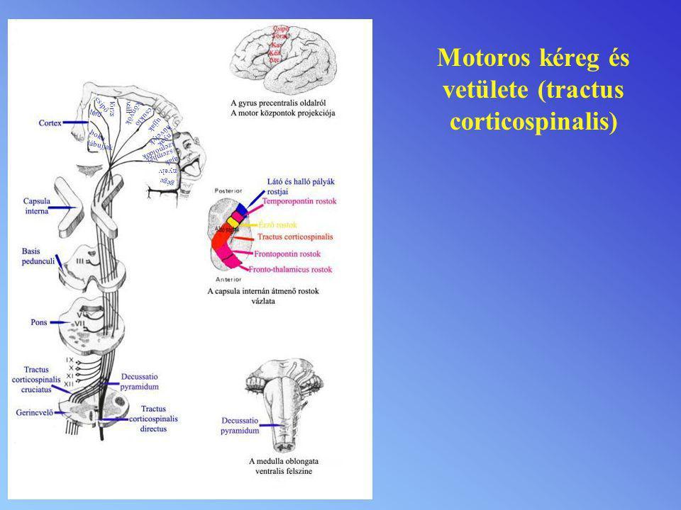 Motoros kéreg és vetülete (tractus corticospinalis)