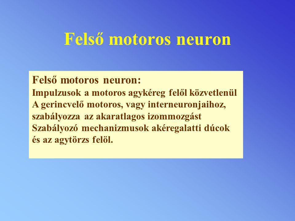 Felső motoros neuron Felső motoros neuron: