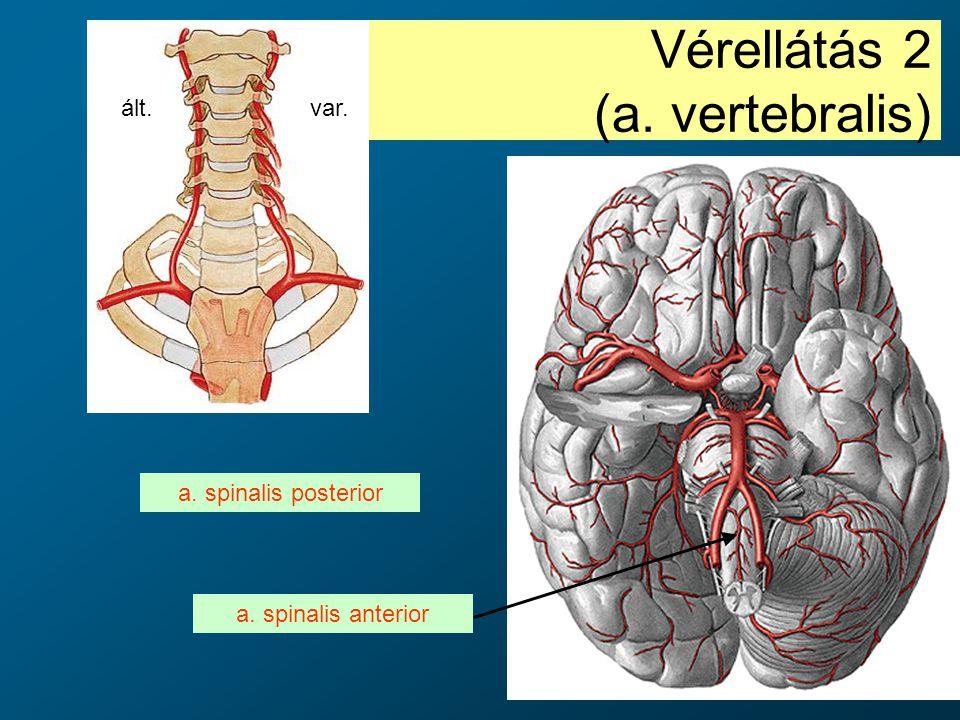 Vérellátás 2 (a. vertebralis)