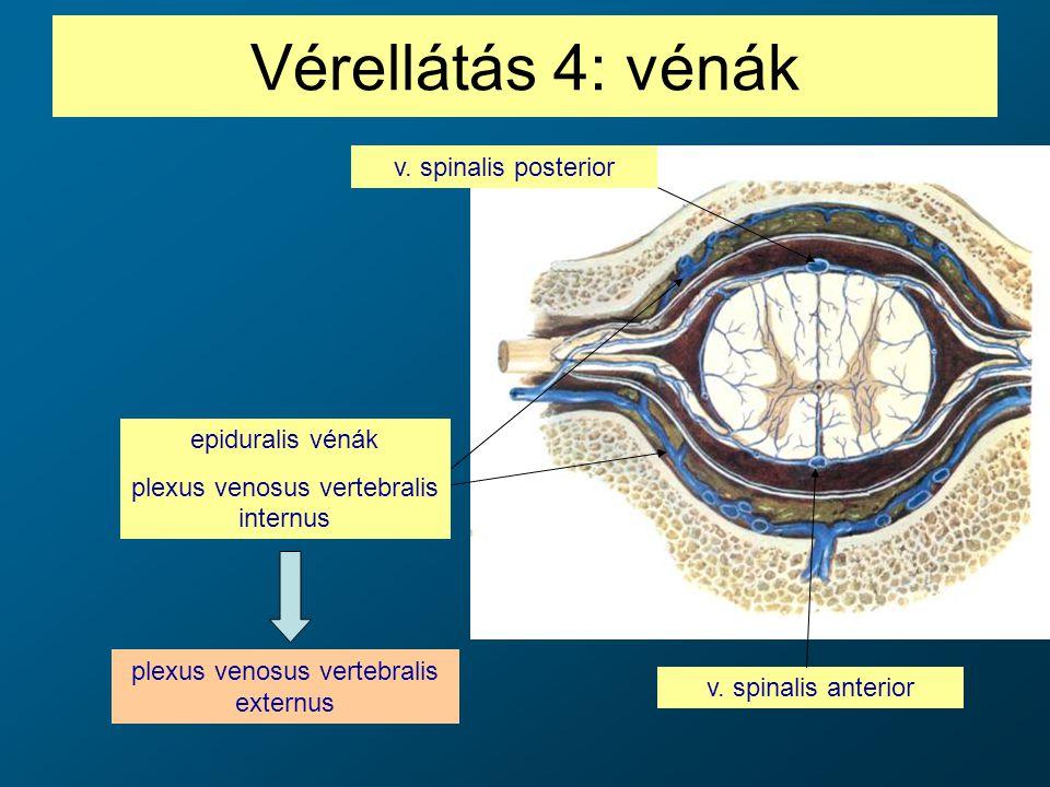 Vérellátás 4: vénák v. spinalis posterior epiduralis vénák