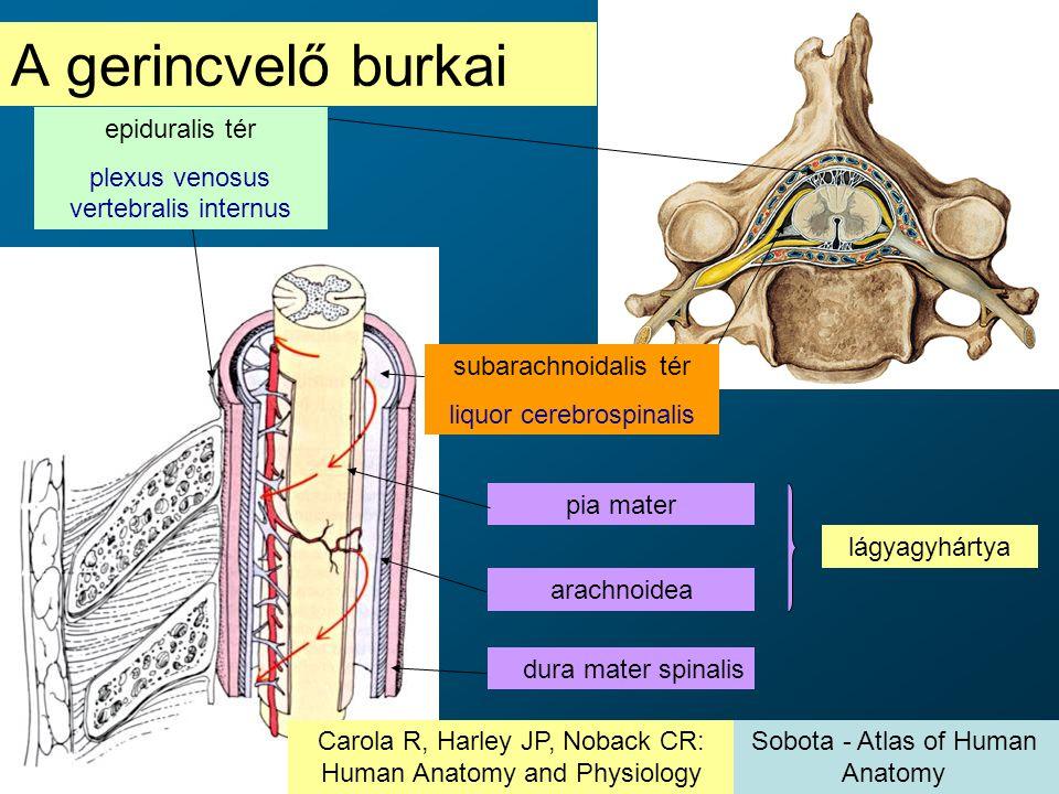 A gerincvelő burkai epiduralis tér plexus venosus vertebralis internus