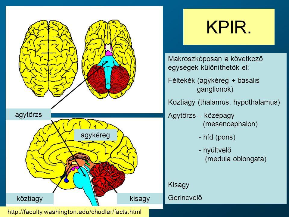 KPIR. Makroszkóposan a következő egységek különíthetők el: