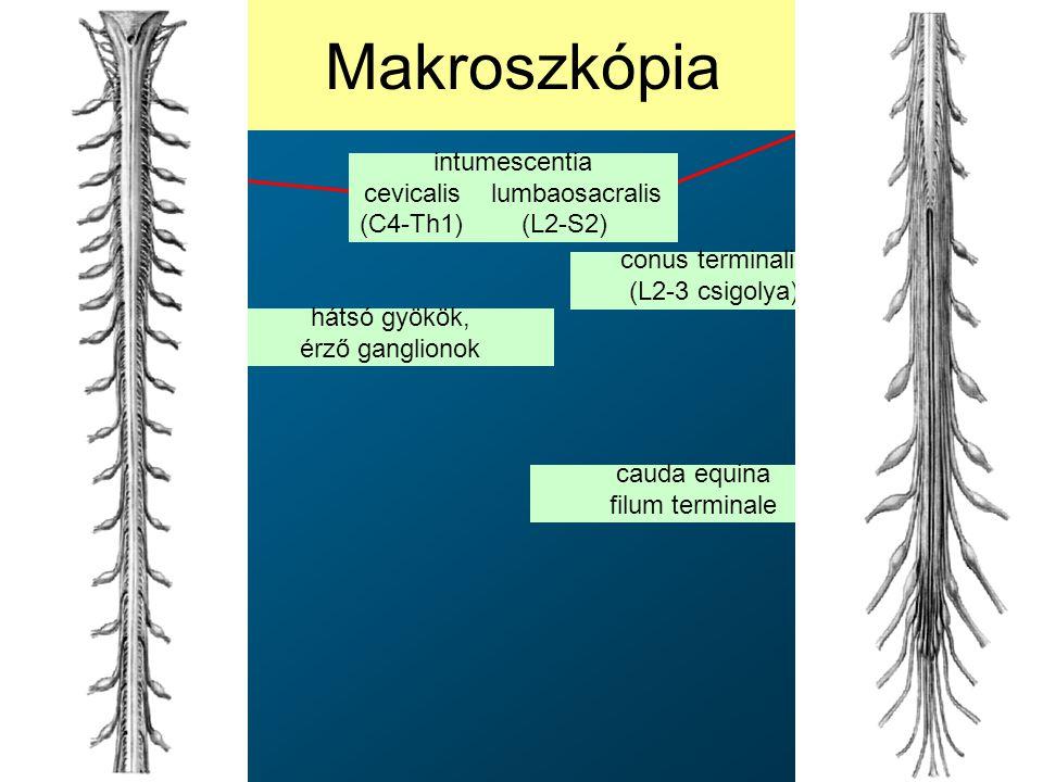 cevicalis lumbaosacralis