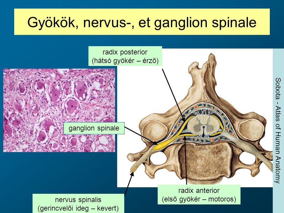 Gyökök, nervus-, et ganglion spinale