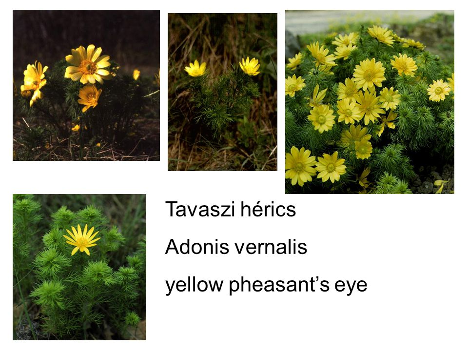 Tavaszi hérics Adonis vernalis yellow pheasant's eye