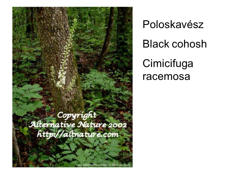 Poloskavész Black cohosh Cimicifuga racemosa