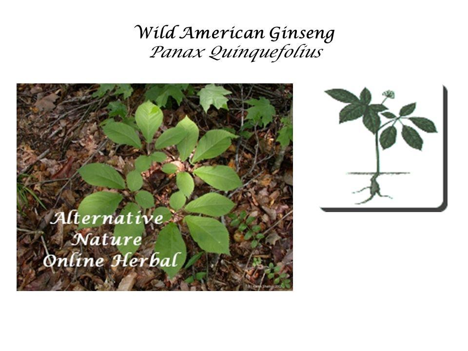 Wild American Ginseng Panax Quinquefolius
