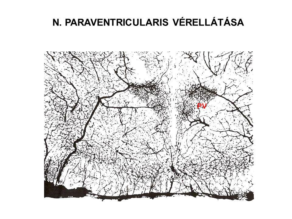 N. PARAVENTRICULARIS VÉRELLÁTÁSA