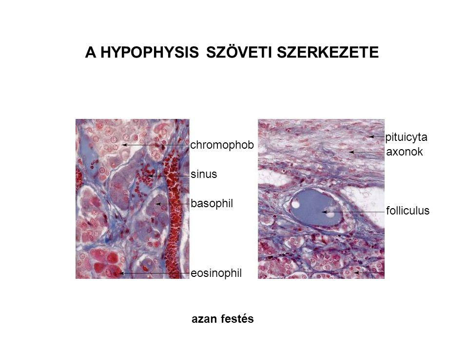 A HYPOPHYSIS SZÖVETI SZERKEZETE