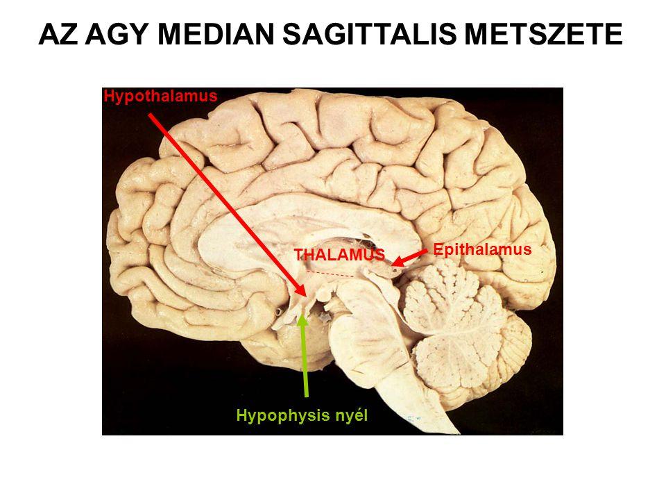 AZ AGY MEDIAN SAGITTALIS METSZETE