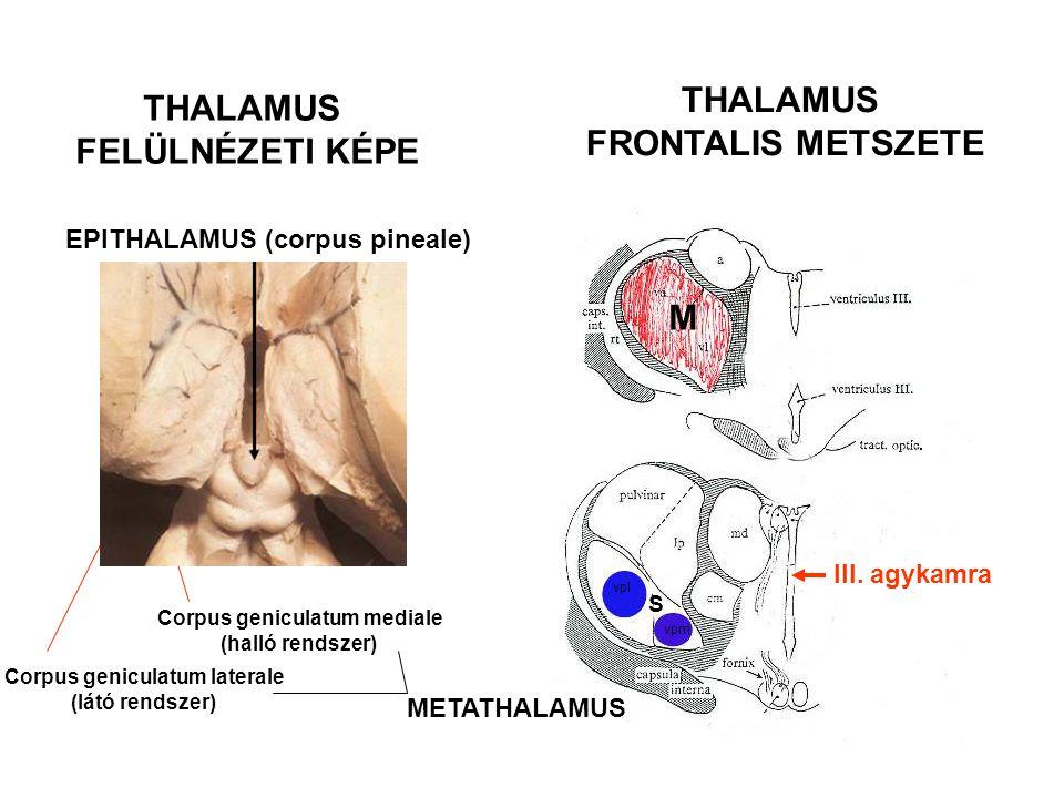 Corpus geniculatum mediale Corpus geniculatum laterale