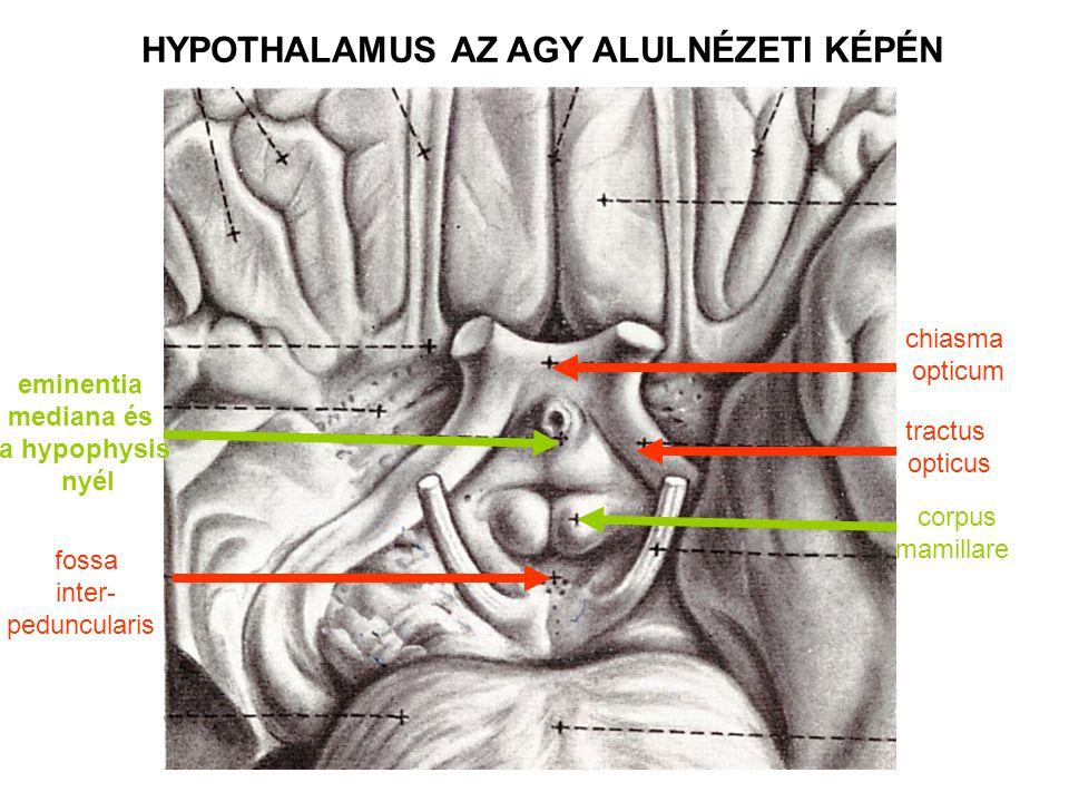 HYPOTHALAMUS AZ AGY ALULNÉZETI KÉPÉN