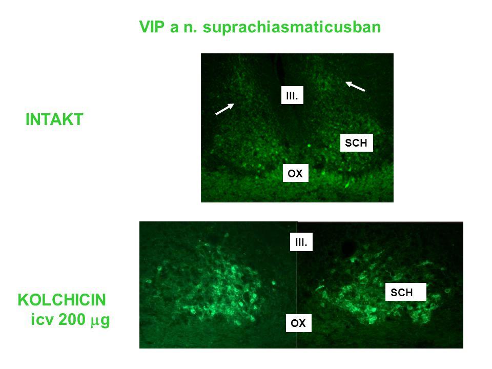 VIP a n. suprachiasmaticusban