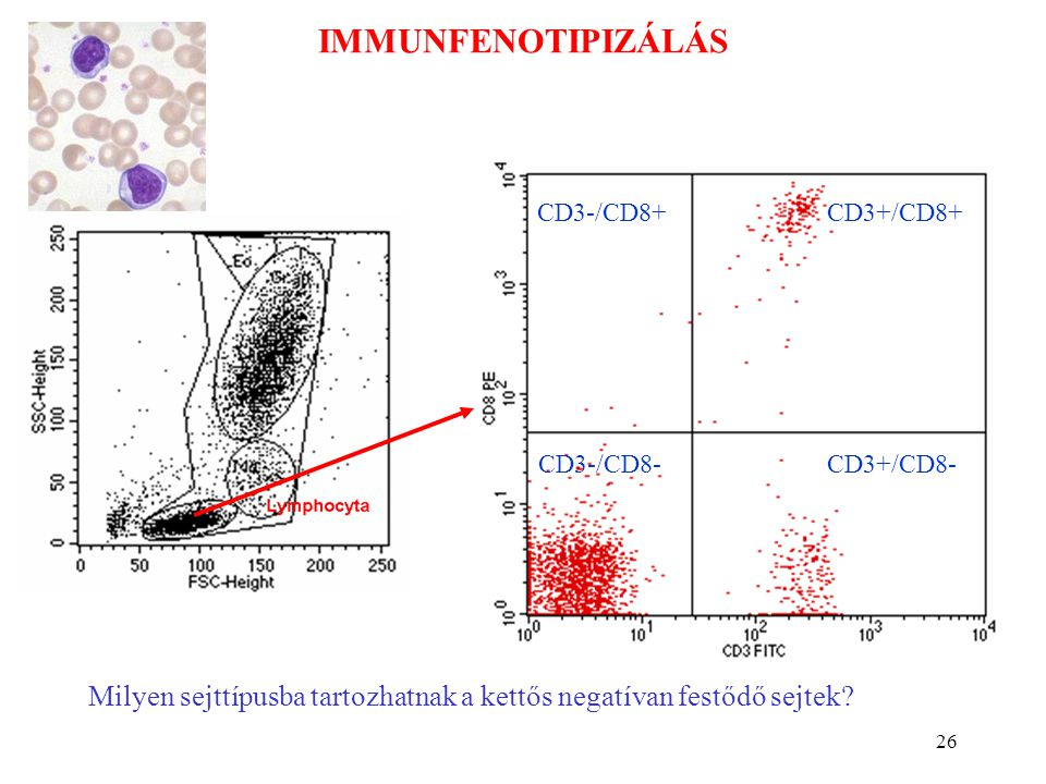 IMMUNFENOTIPIZÁLÁS CD3+/CD8+ CD3+/CD8- CD3-/CD8+ CD3-/CD8- CD3-/CD8+: NK. CD3+/CD8-: Th. CD3-/CD8-: B, (NK)