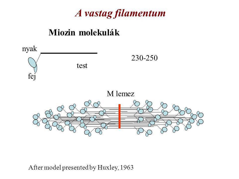 A vastag filamentum Miozin molekulák nyak 230-250 test fej M lemez