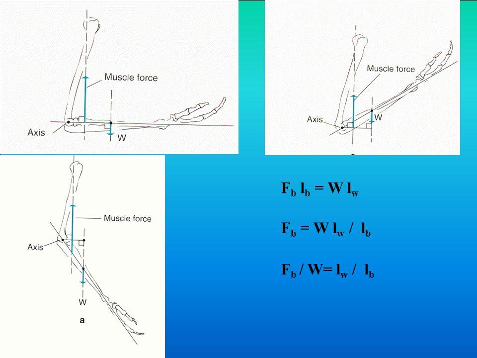 Fb lb = W lw Fb = W lw / lb Fb / W= lw / lb
