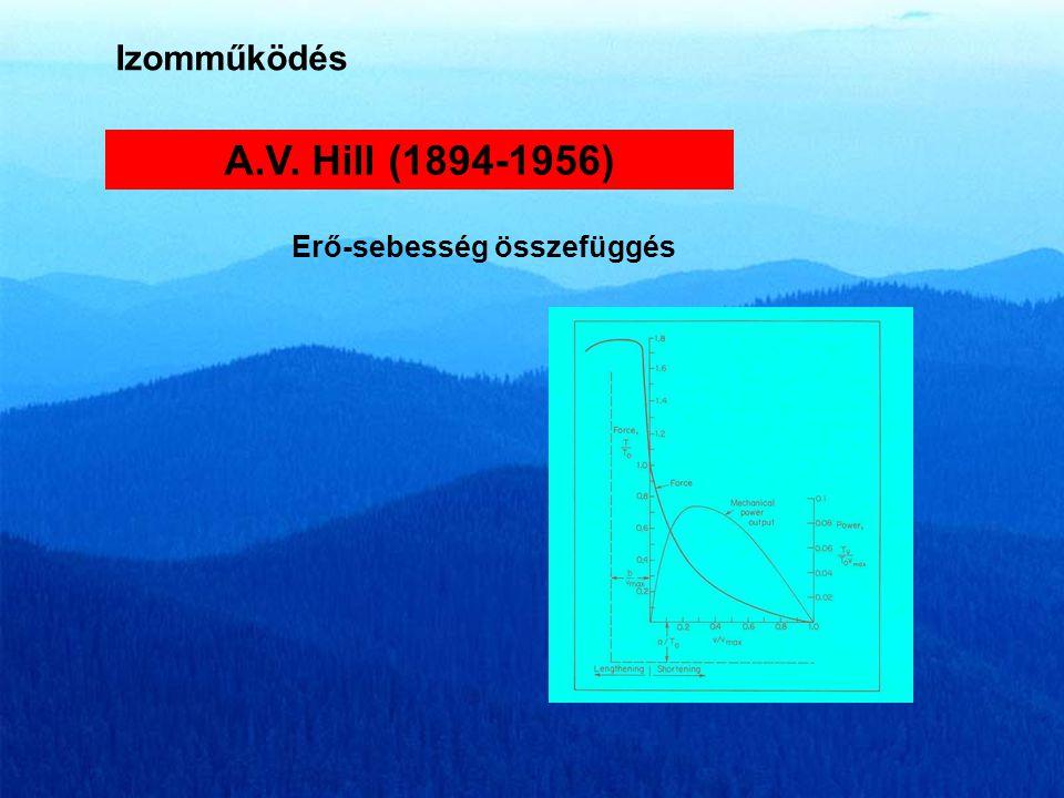 Izomműködés A.V. Hill (1894-1956) Erő-sebesség összefüggés