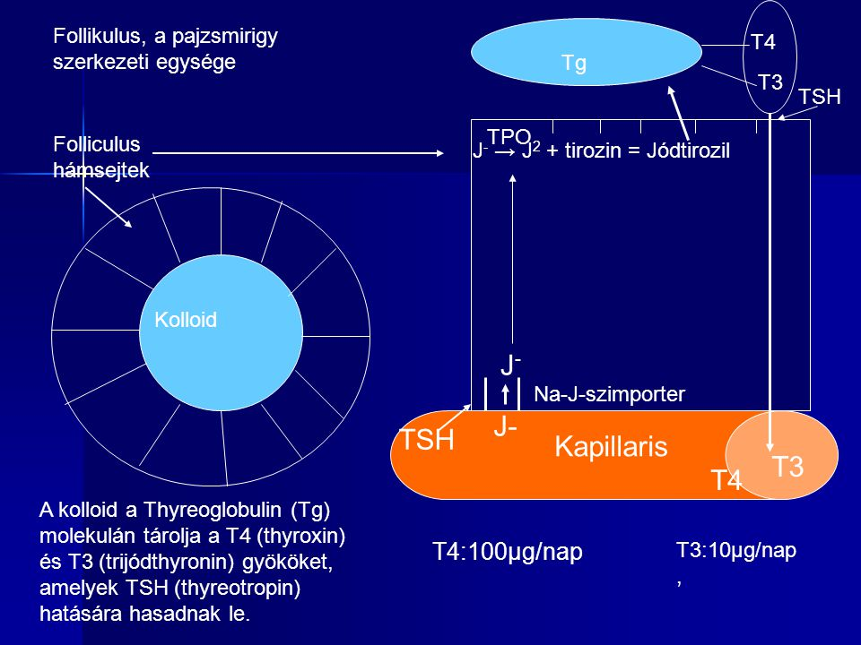 J- J- TSH Kapillaris T3 T4 T4:100µg/nap