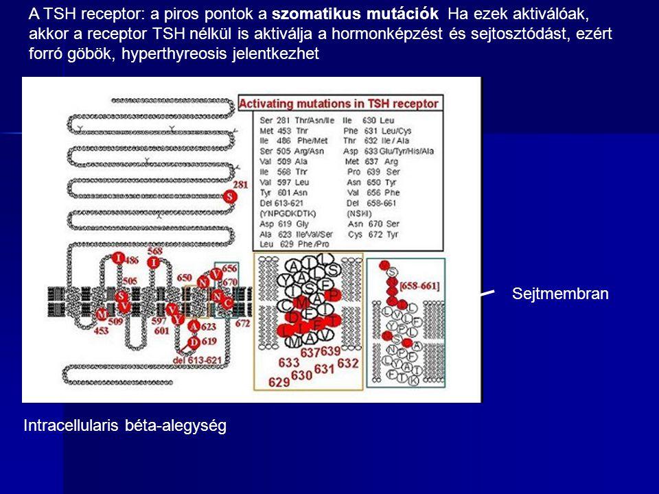 A TSH receptor: a piros pontok a szomatikus mutációk Ha ezek aktiválóak, akkor a receptor TSH nélkül is aktiválja a hormonképzést és sejtosztódást, ezért forró göbök, hyperthyreosis jelentkezhet