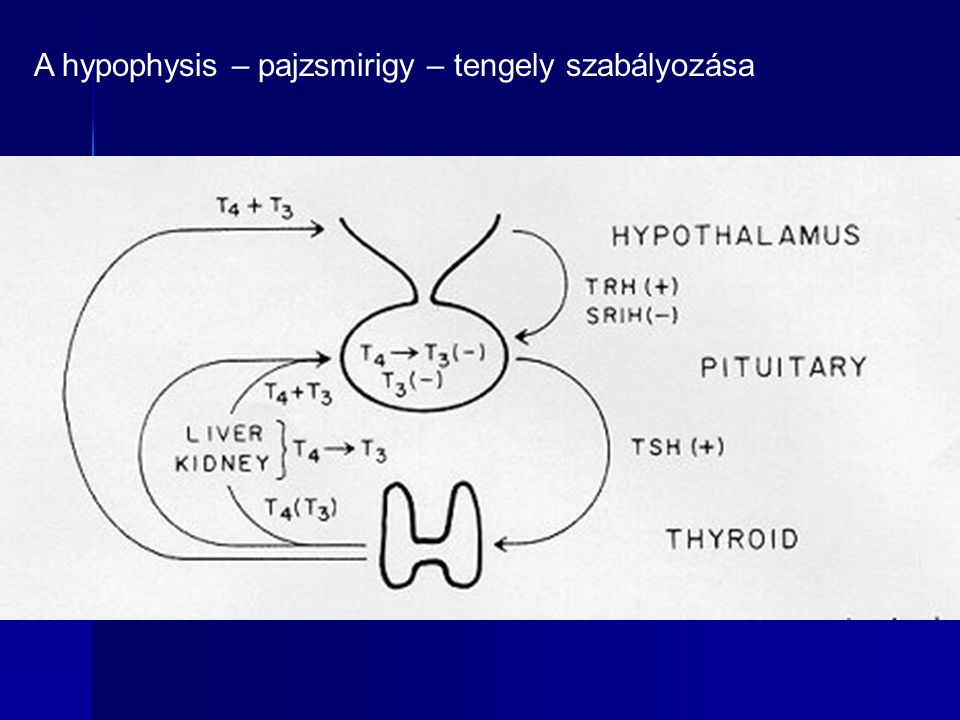 A hypophysis – pajzsmirigy – tengely szabályozása