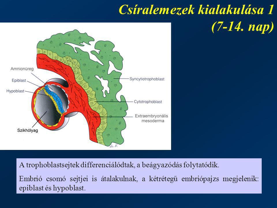 Csíralemezek kialakulása 1 (7-14. nap)