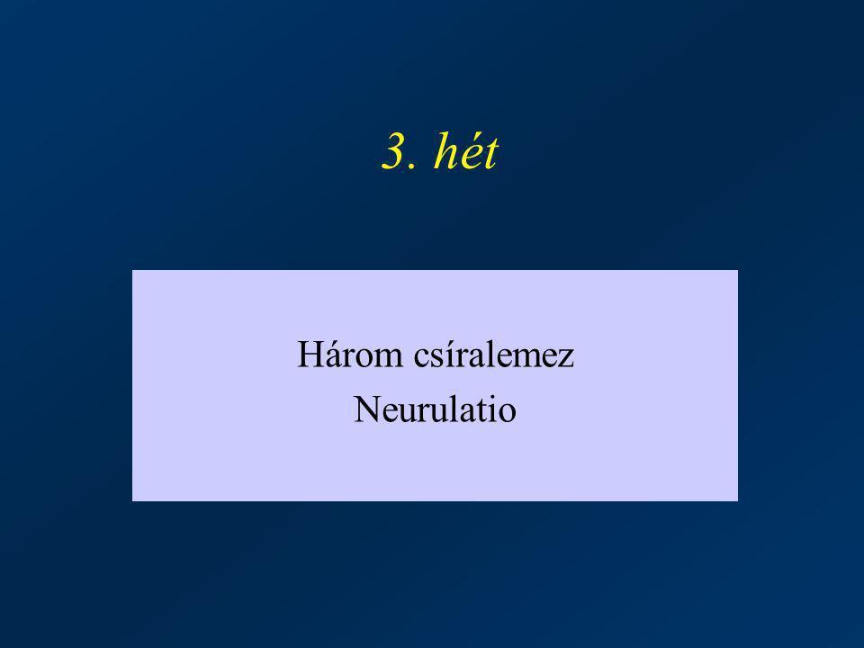 Három csíralemez Neurulatio