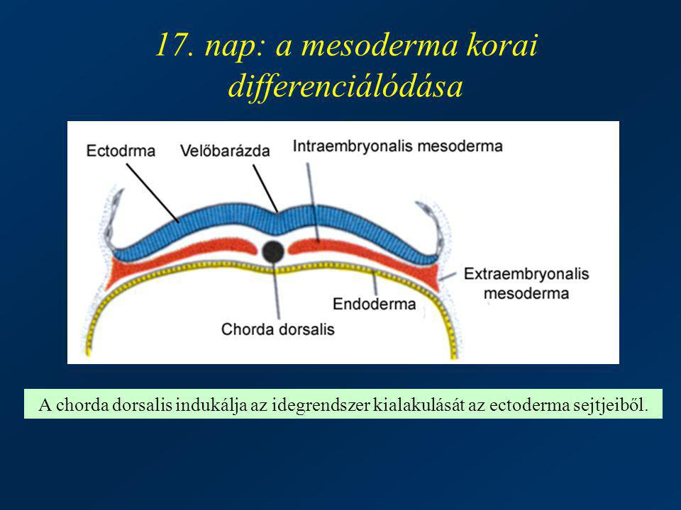 17. nap: a mesoderma korai differenciálódása