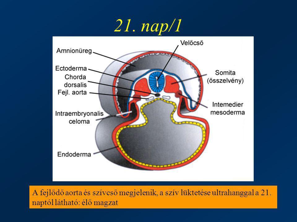 21. nap/1 A fejlődő aorta és szívcső megjelenik, a szív lüktetése ultrahanggal a 21.