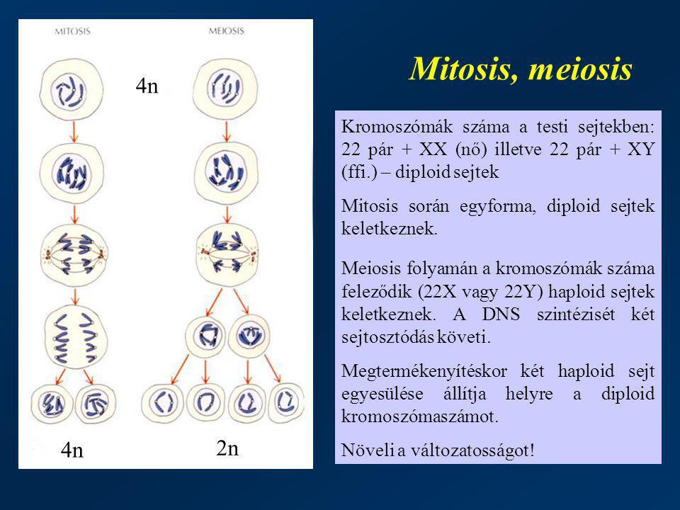 Mitosis, meiosis 4n. Kromoszómák száma a testi sejtekben: 22 pár + XX (nő) illetve 22 pár + XY (ffi.) – diploid sejtek.