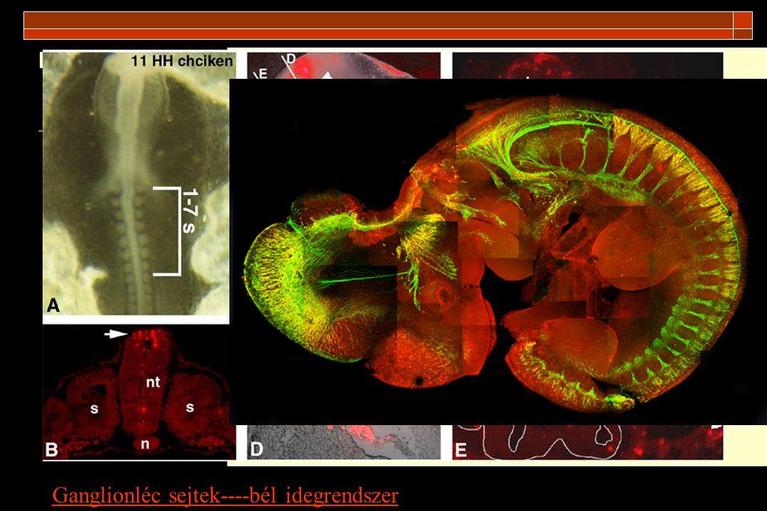 Ganglionléc sejtek----bél idegrendszer