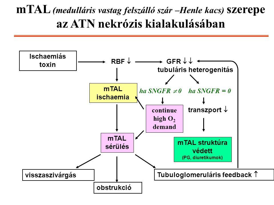 mTAL (medulláris vastag felszálló szár –Henle kacs) szerepe az ATN nekrózis kialakulásában
