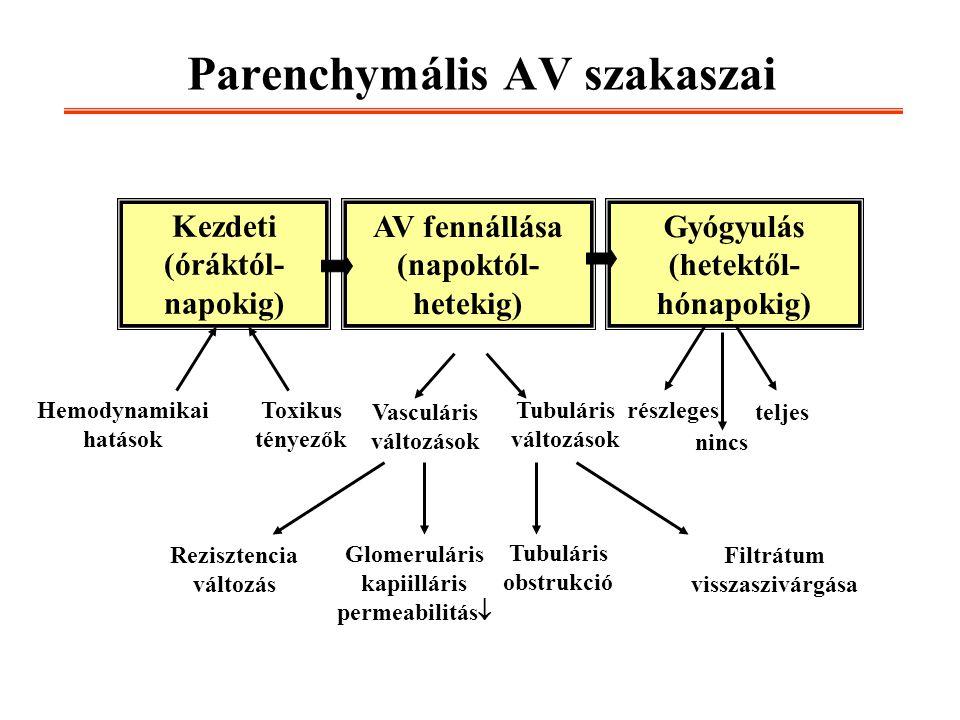 Parenchymális AV szakaszai