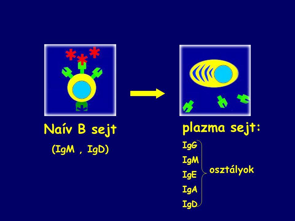 plazma sejt: IgG IgM IgE IgA IgD osztályok Naív B sejt (IgM , IgD)