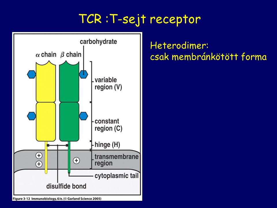 TCR :T-sejt receptor Heterodimer: csak membránkötött forma