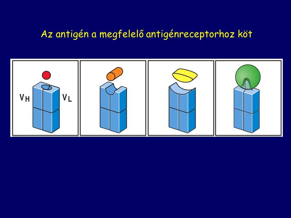 Az antigén a megfelelő antigénreceptorhoz köt