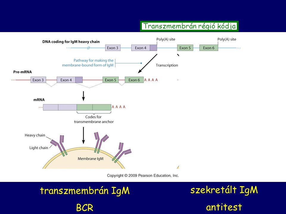Transzmembrán régió kódja