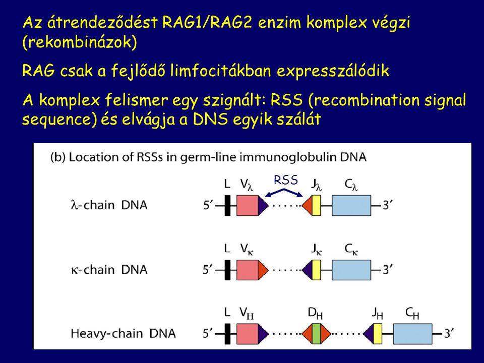 Az átrendeződést RAG1/RAG2 enzim komplex végzi (rekombinázok)