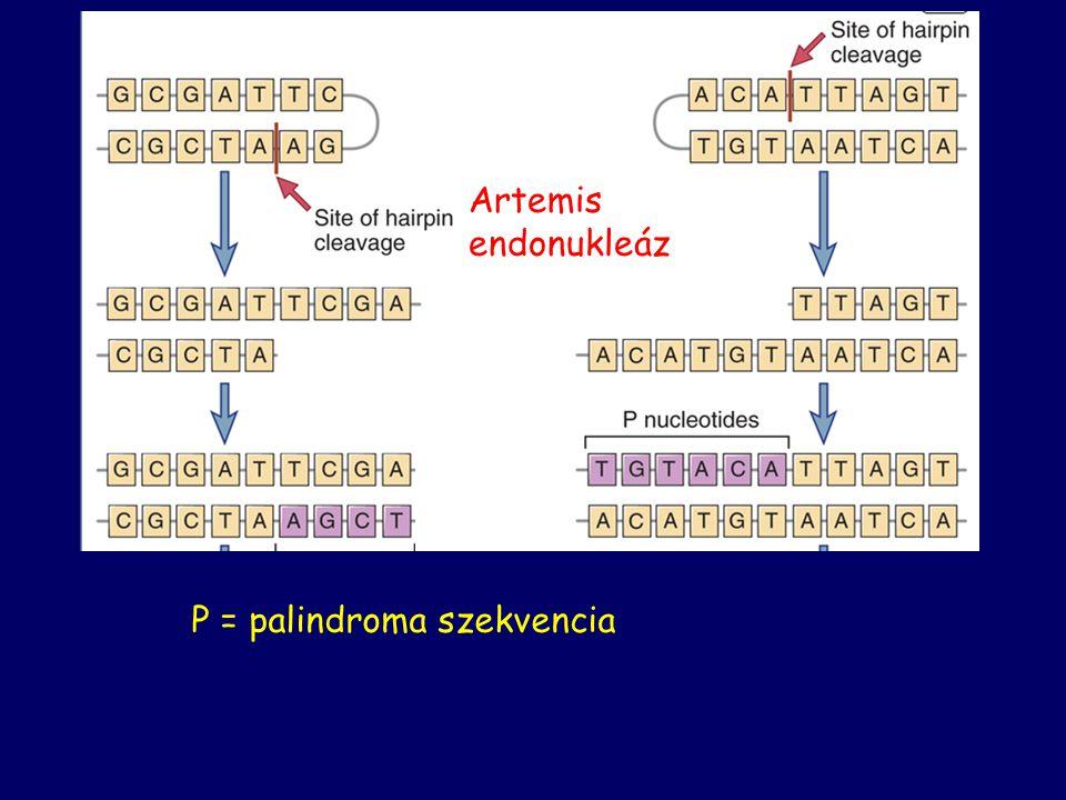 Artemis endonukleáz P = palindroma szekvencia