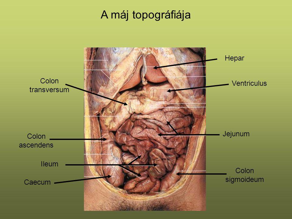 A máj topográfiája Hepar Colon transversum Ventriculus Jejunum