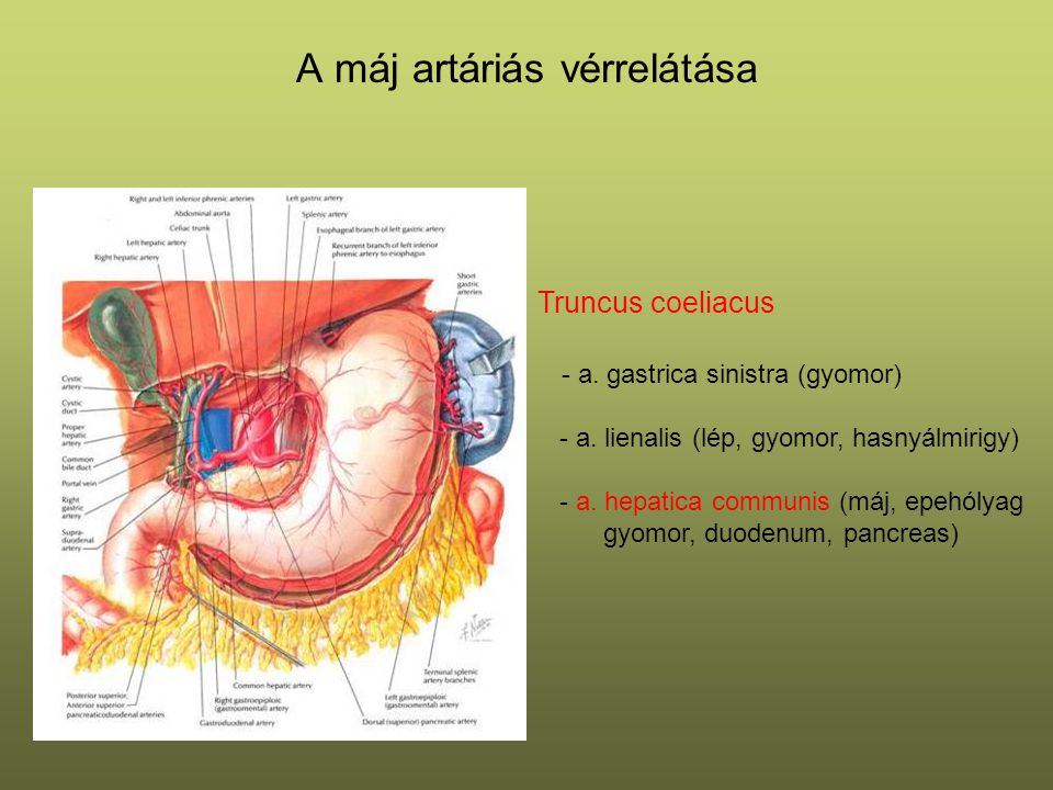 A máj artáriás vérrelátása