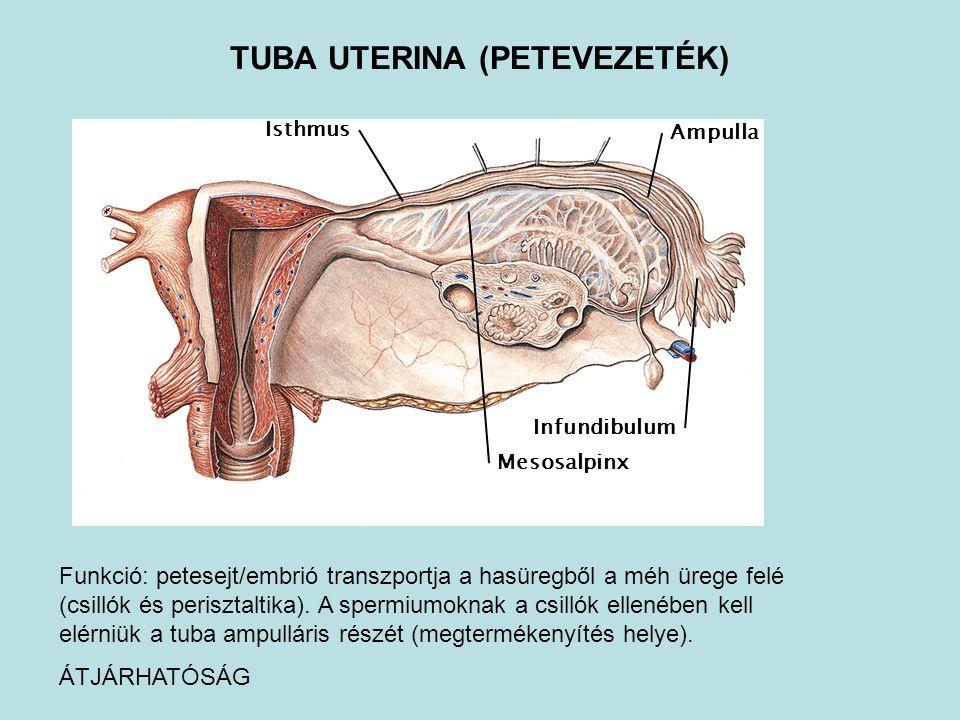 TUBA UTERINA (PETEVEZETÉK)