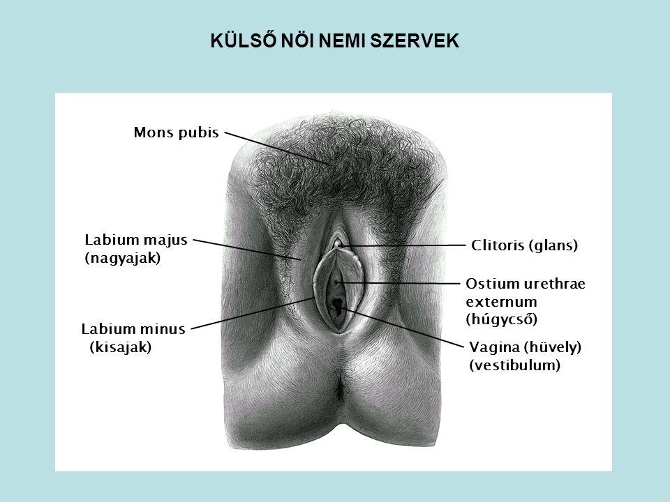 KÜLSŐ NÖI NEMI SZERVEK Mons pubis Labium majus Clitoris (glans)