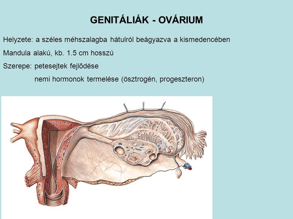 GENITÁLIÁK - OVÁRIUM Helyzete: a széles méhszalagba hátulról beágyazva a kismedencében. Mandula alakú, kb. 1.5 cm hosszú.