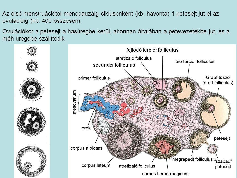 Az első menstruációtól menopauzáig ciklusonként (kb