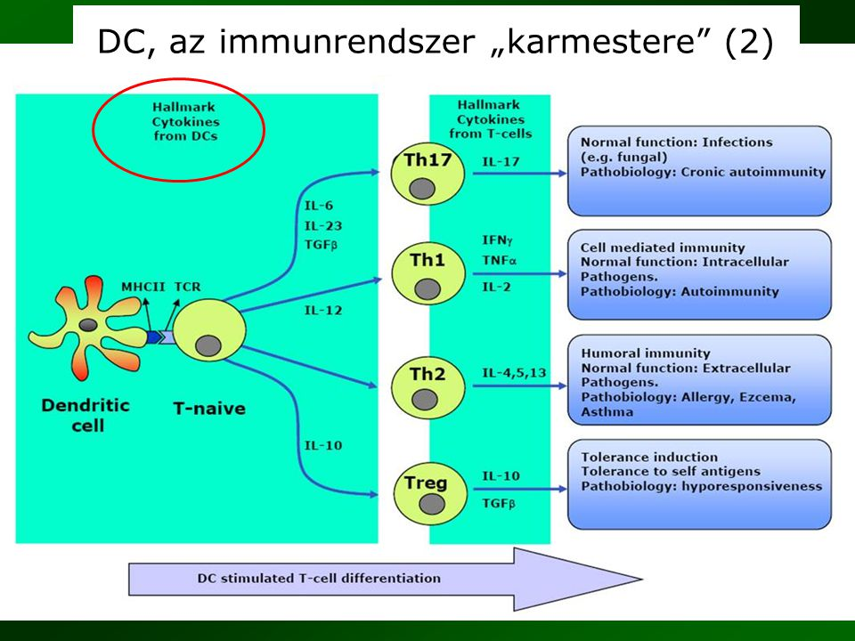 """DC, az immunrendszer """"karmestere (2)"""