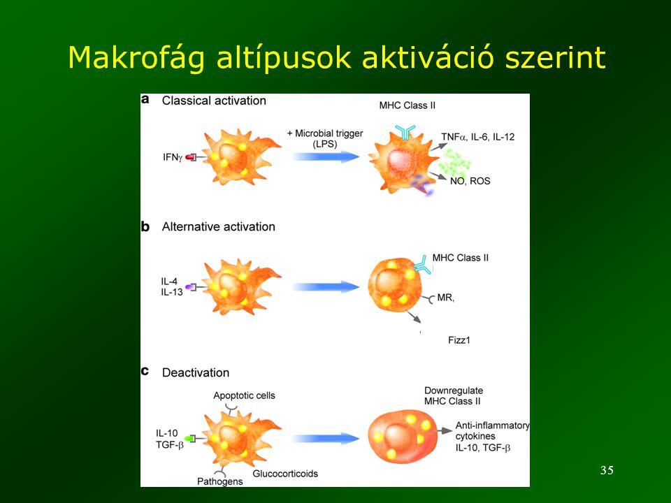 Makrofág altípusok aktiváció szerint