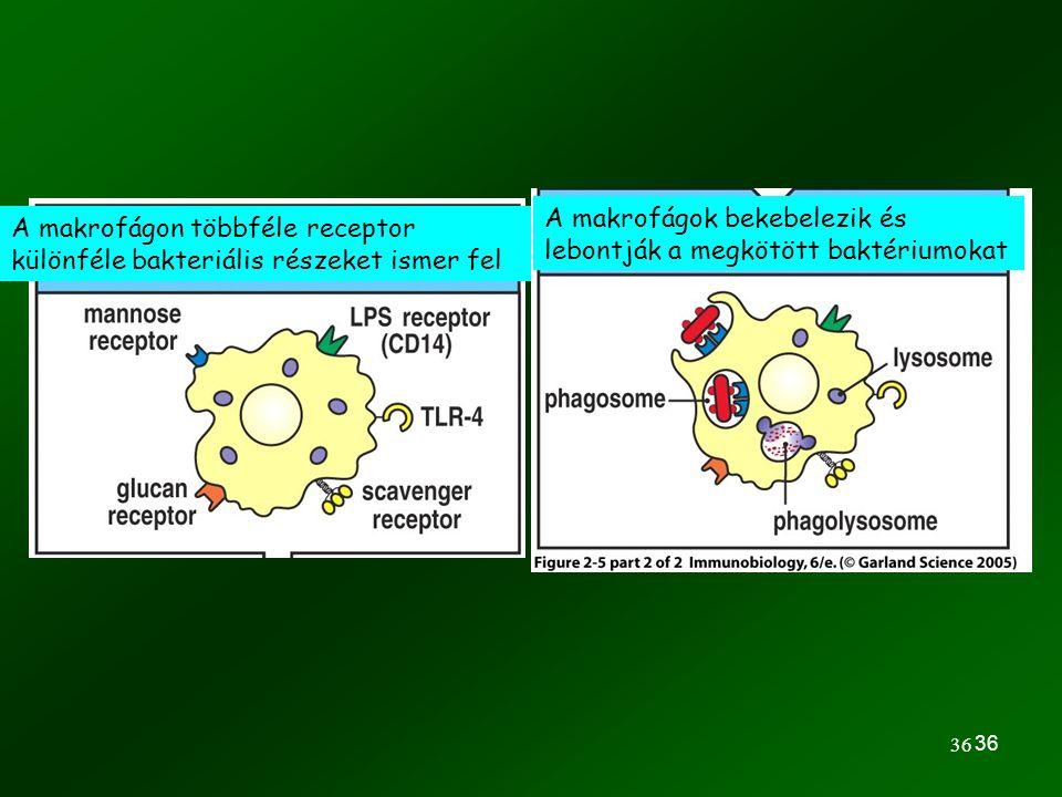 A makrofágok bekebelezik és lebontják a megkötött baktériumokat