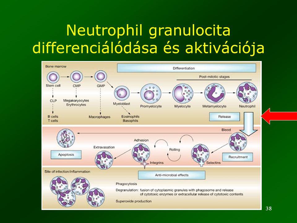 Neutrophil granulocita differenciálódása és aktivációja