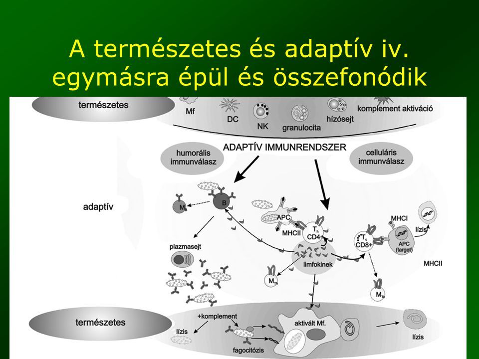 A természetes és adaptív iv. egymásra épül és összefonódik