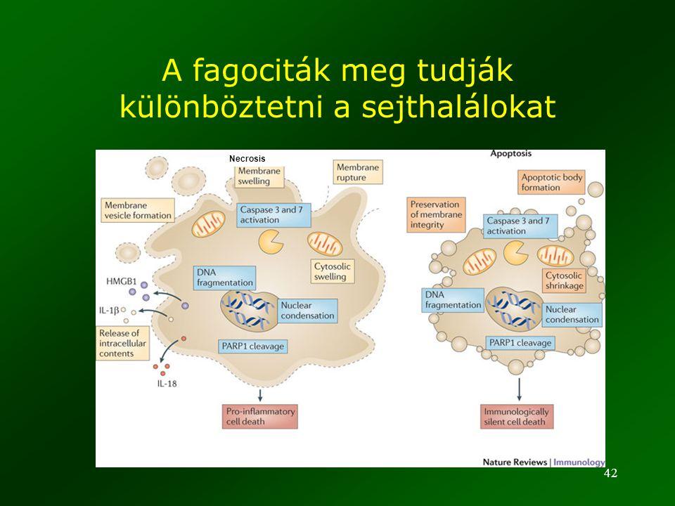 A fagociták meg tudják különböztetni a sejthalálokat